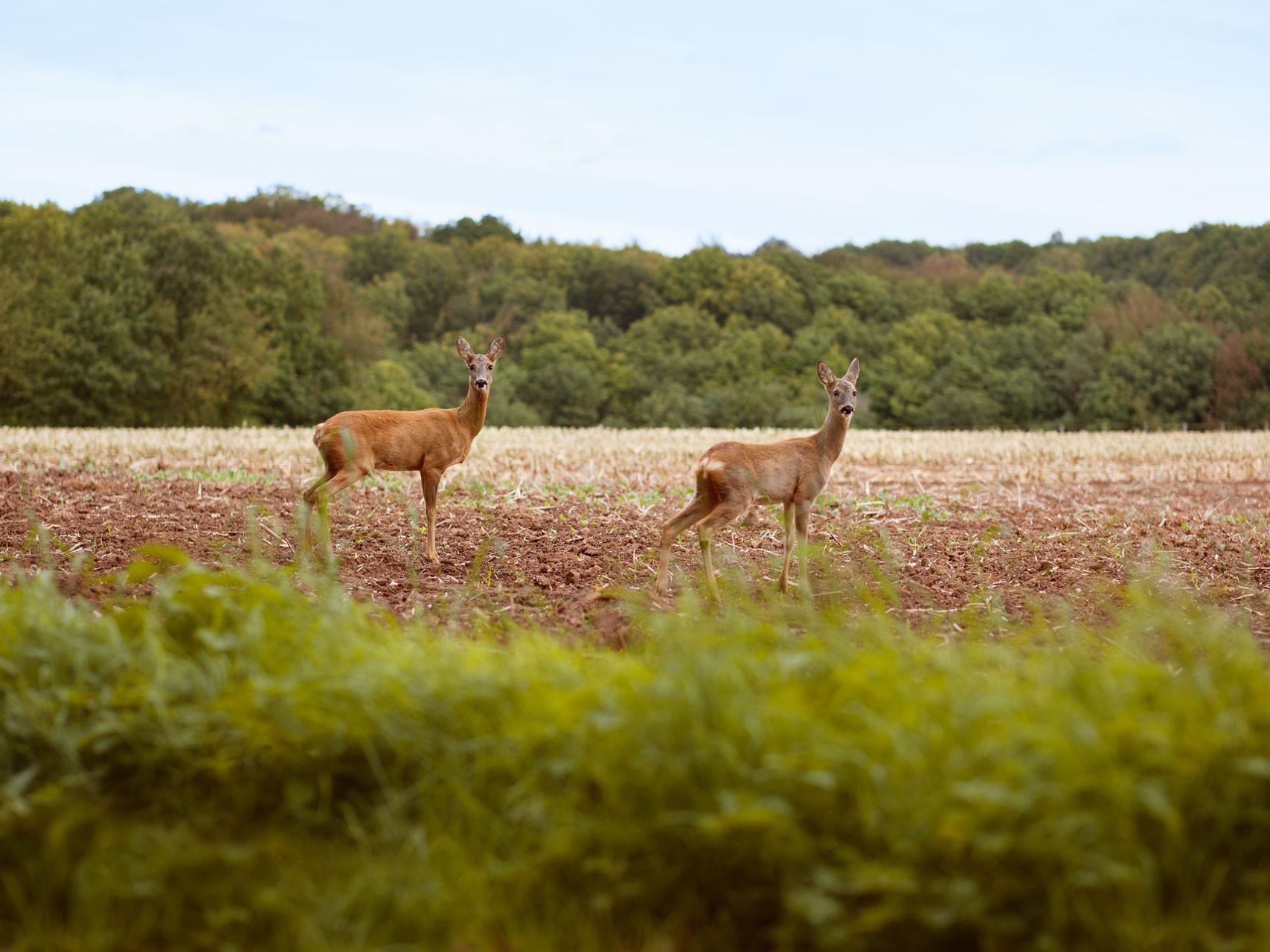 Timo_Stammberger_Duderstadt_Landscape_Forerest_Wald_Acker_Rehe_Deer_Feld_Wild