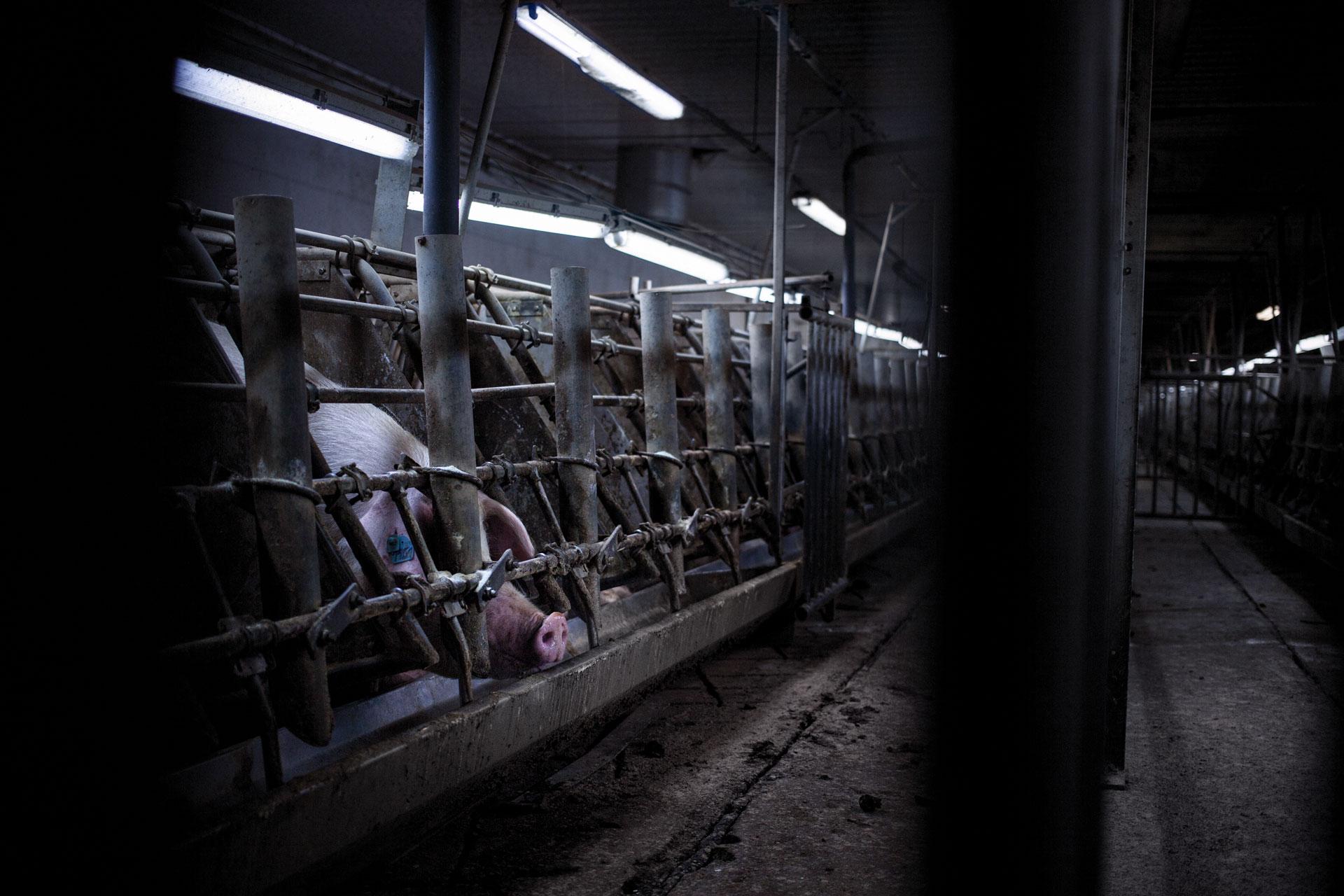 timo-stammberger-massentierhaltung-mastanlage-factory-farming-schweine-pigs-animal-rights_04