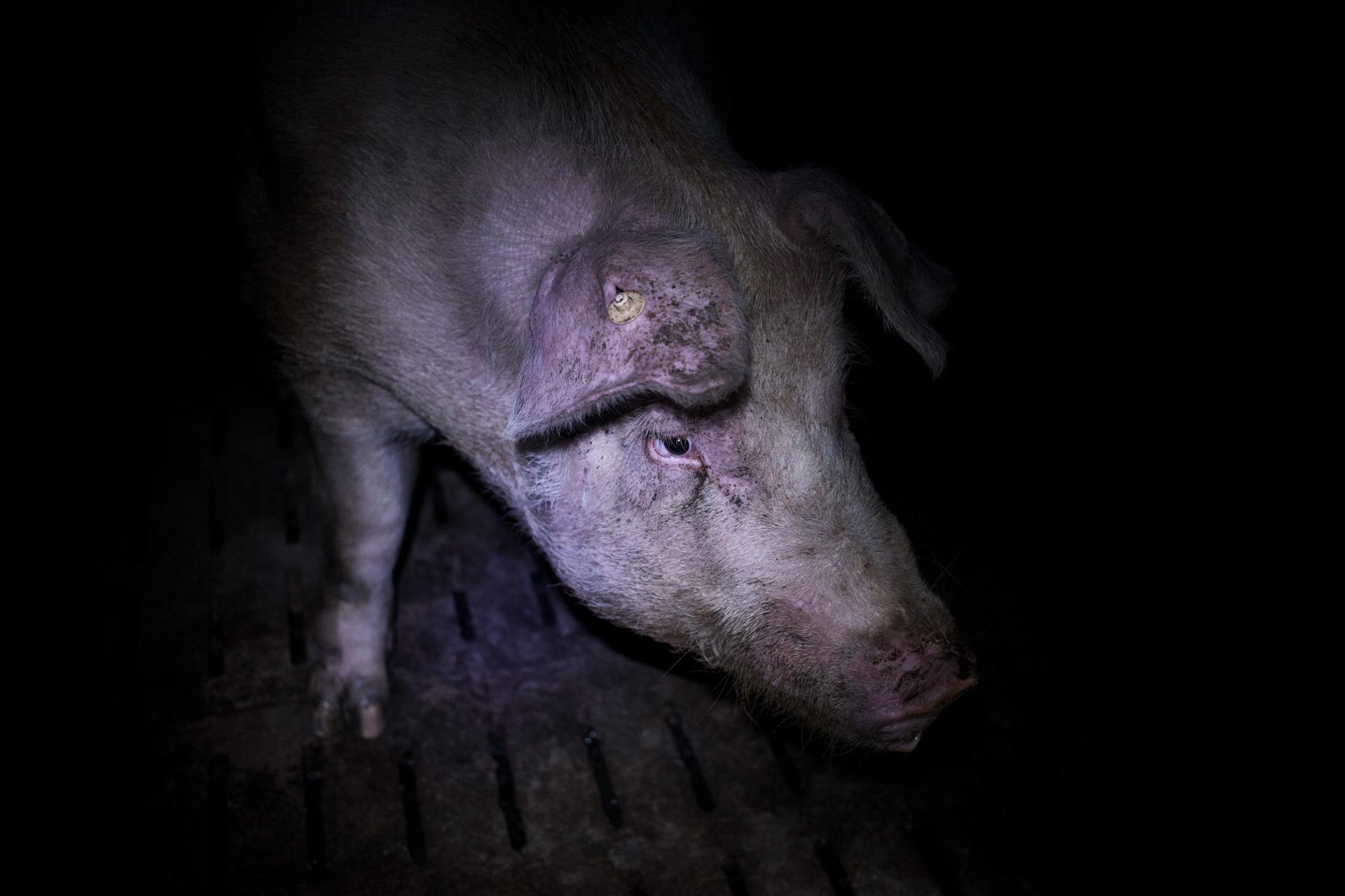 timo-stammberger-massentierhaltung-mastanlage-factory-farming-schweine-pigs-animal-rights_05