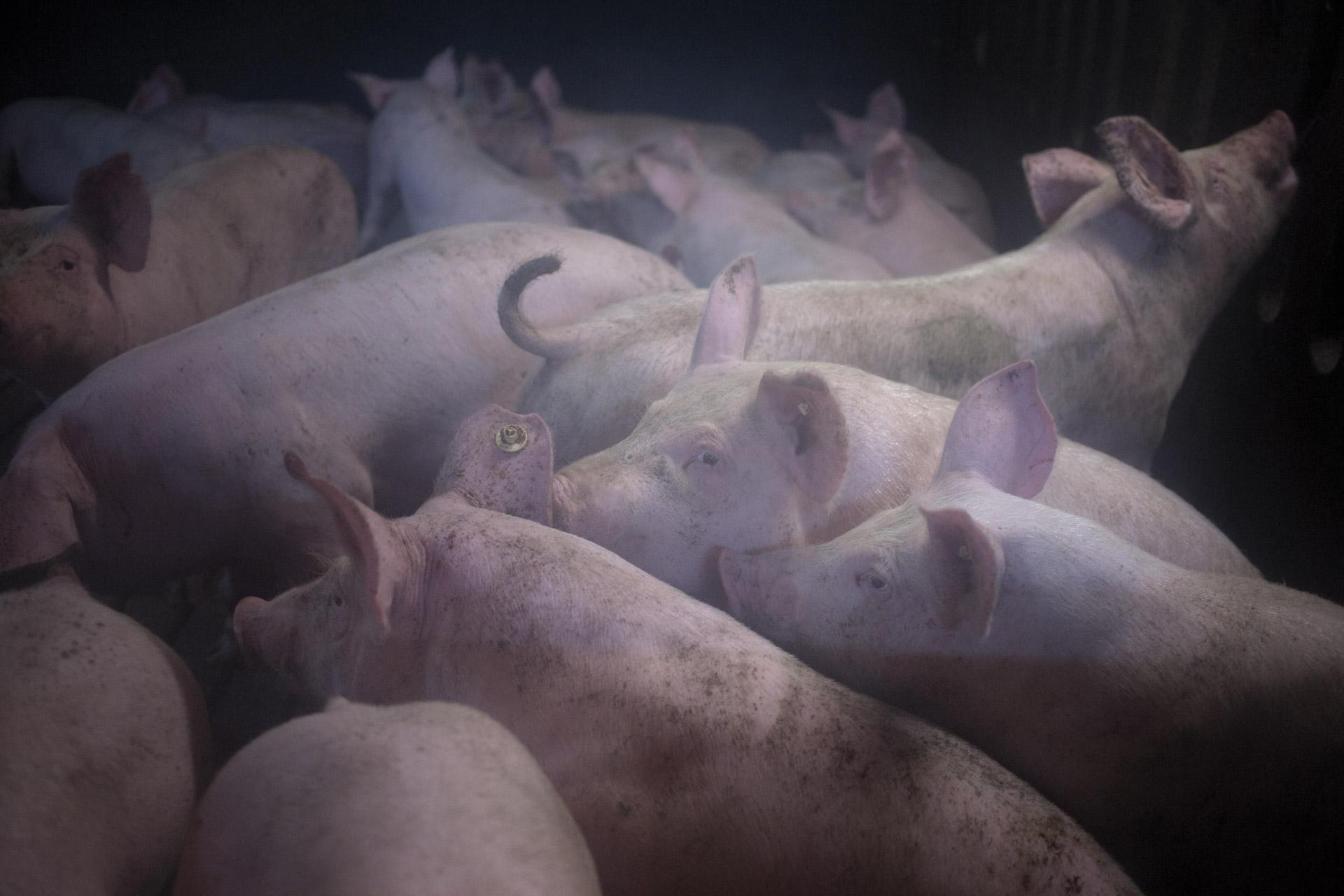 timo-stammberger-massentierhaltung-mastanlage-factory-farming-schweine-pigs-animal-rights_07