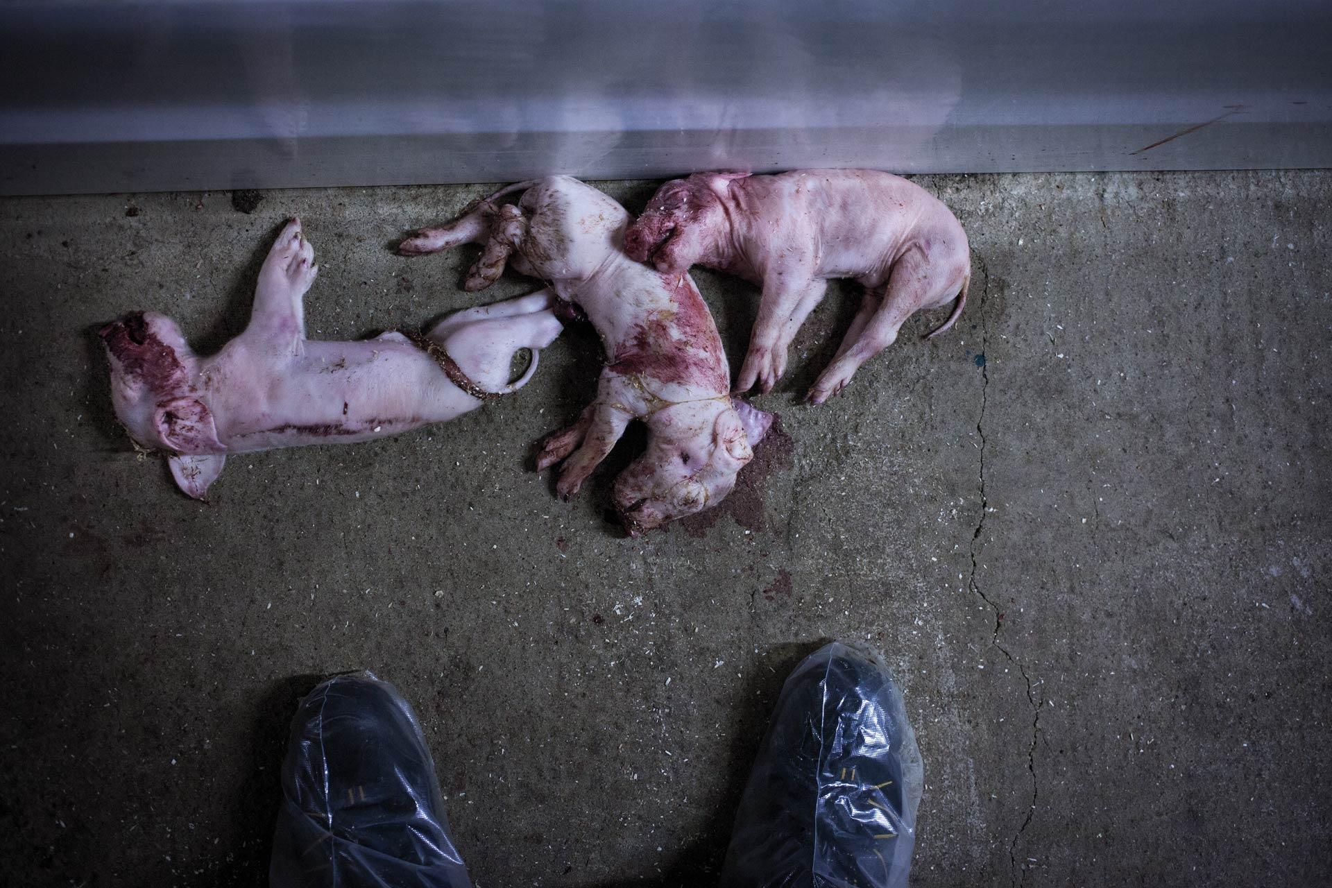 timo-stammberger-massentierhaltung-mastanlage-factory-farming-schweine-pigs-animal-rights_11
