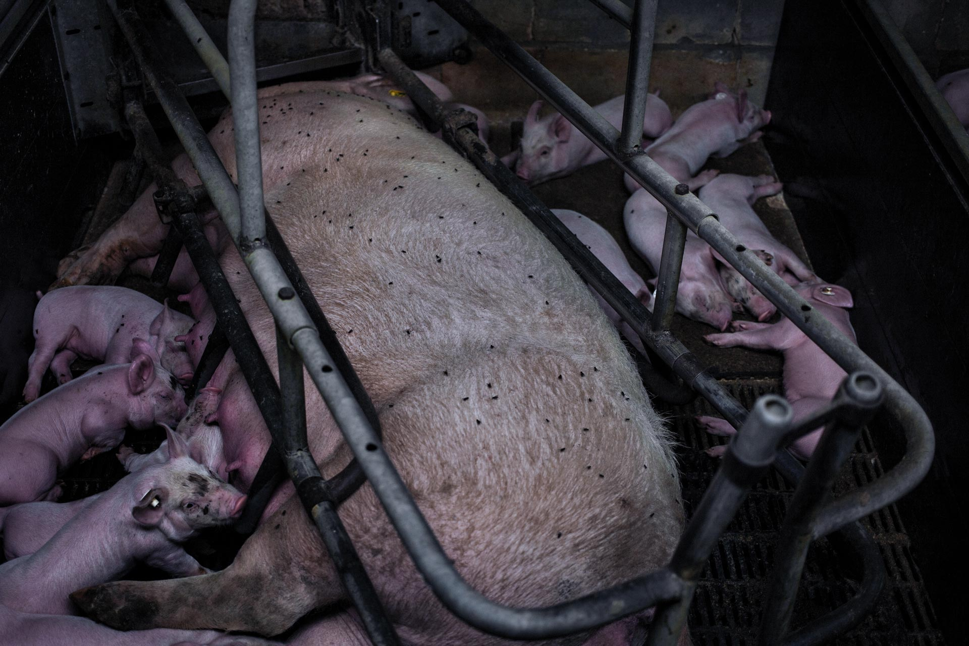 timo-stammberger-massentierhaltung-mastanlage-factory-farming-schweine-pigs-animal-rights_13