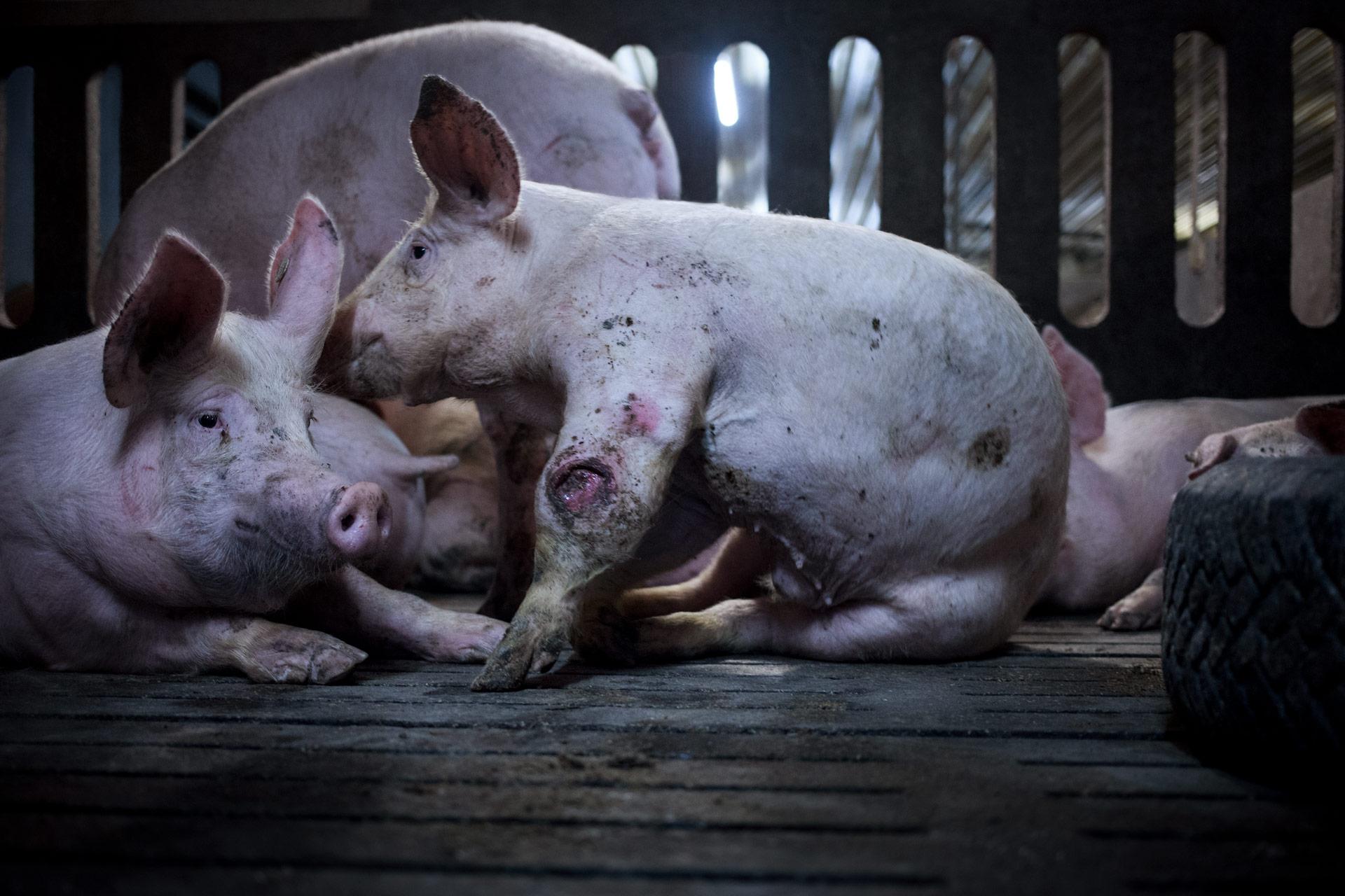 timo-stammberger-massentierhaltung-mastanlage-factory-farming-schweine-pigs-animal-rights_16