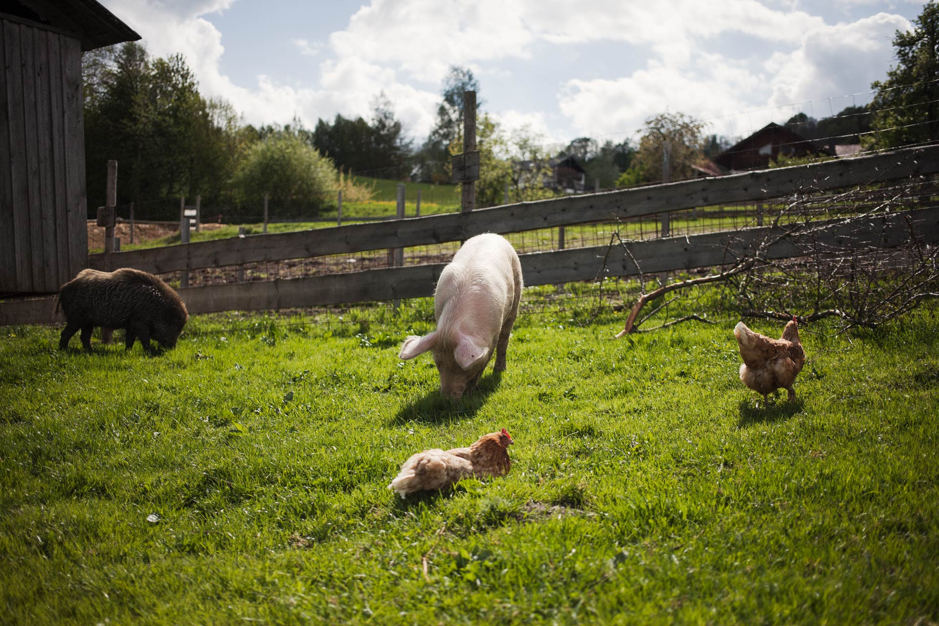 timo-stammberger-photography-animal-sanctuary-tiere-animals-pig-chicken-boar-erdlingshof-mitgefuehl-vegan-world-compassion