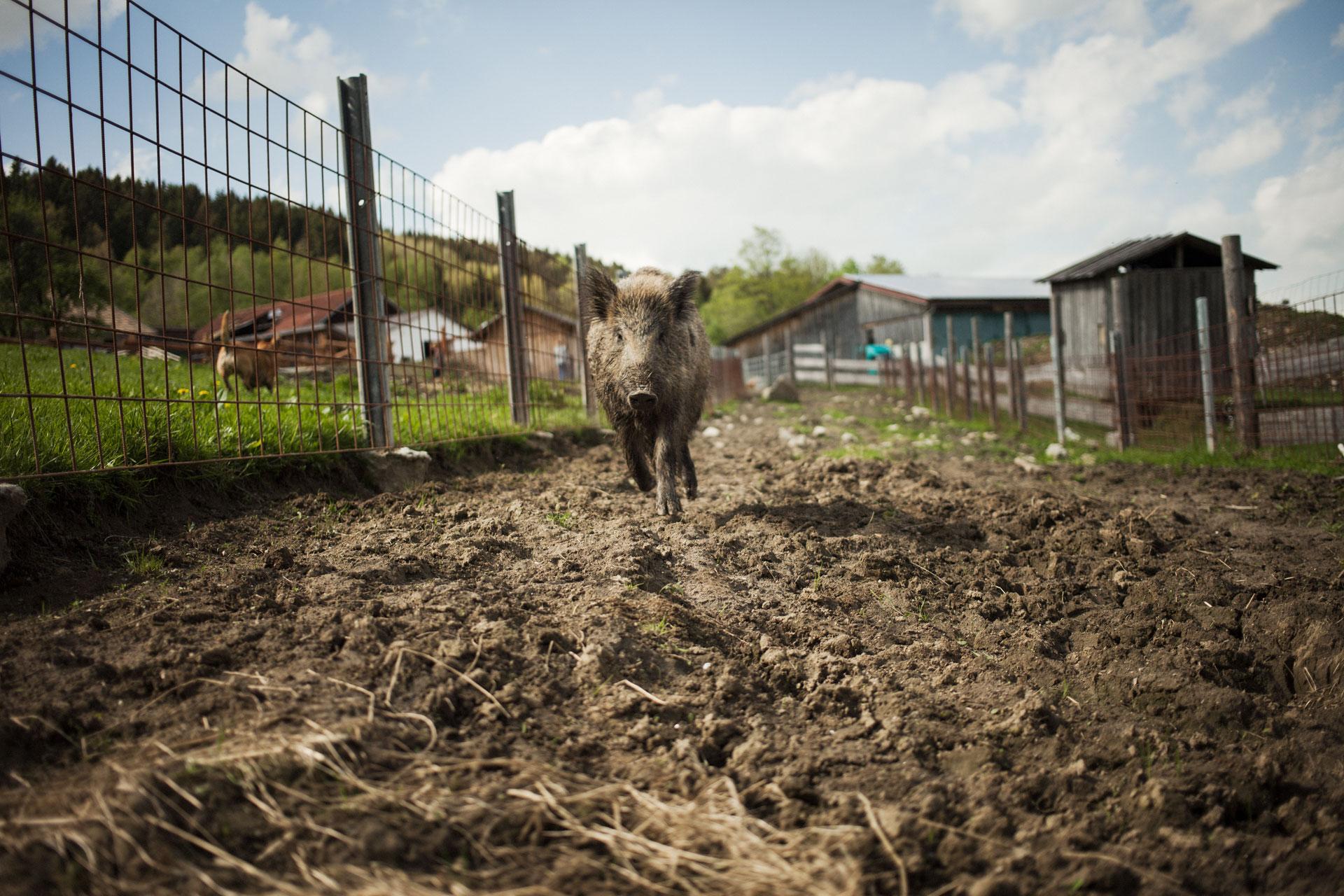 timo-stammberger-photography-fotografie-animals-wild-hog-wildschwein-nature-erdlingshof-mitgefuehl-vegan-compassion