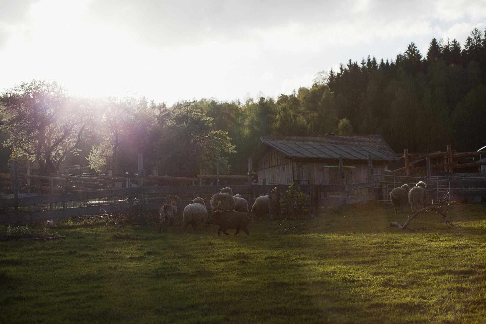 timo-stammberger-photography-fotografie-tiere-animals-nature-erdlingshof-vegan-world-tiere-vegan-compassion