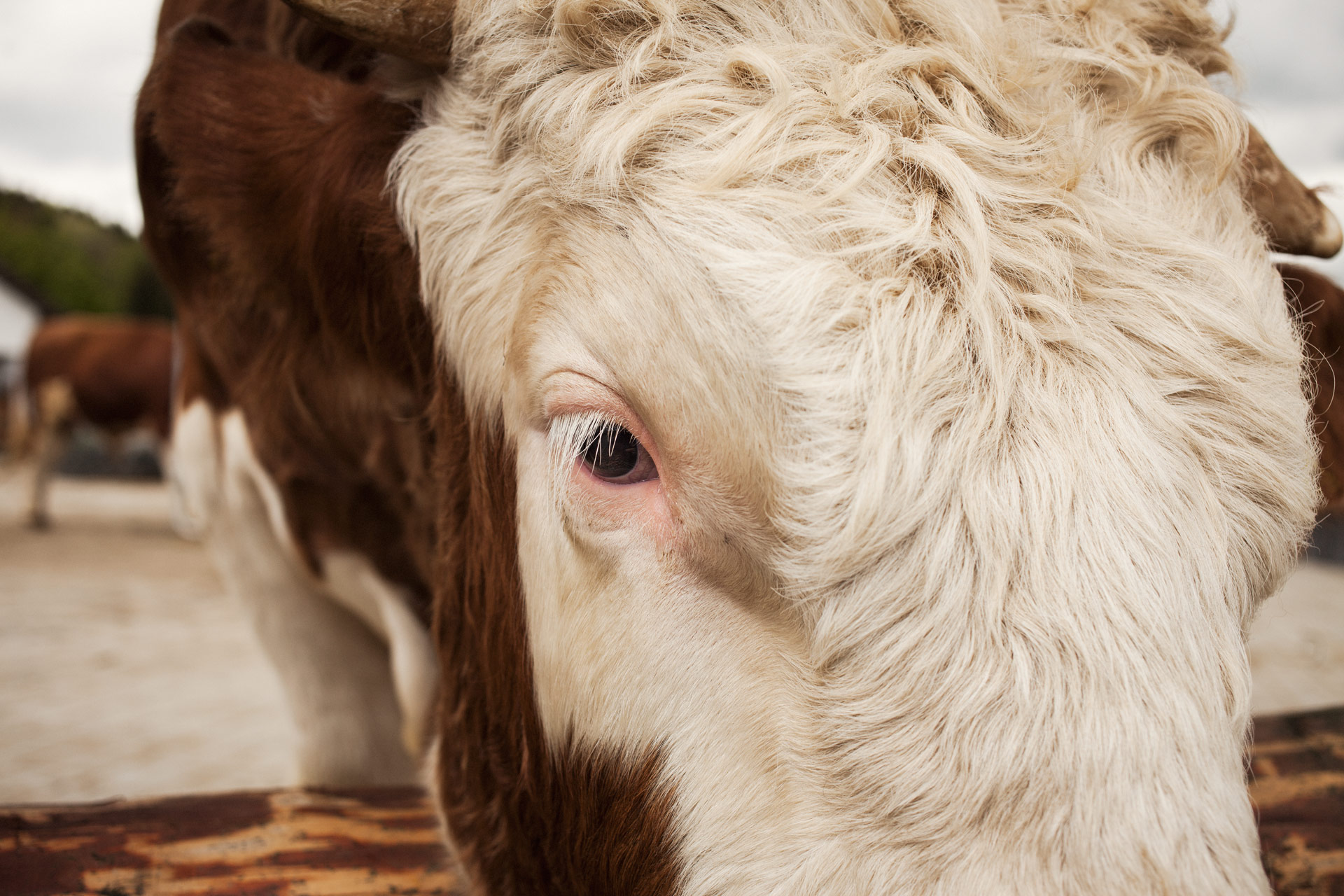 timo-stammberger-photography-fotografie-tiere-kuh-cow-portrait-erdlingshof-mitgefuehl-compassion